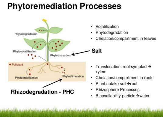 phytoremediation process