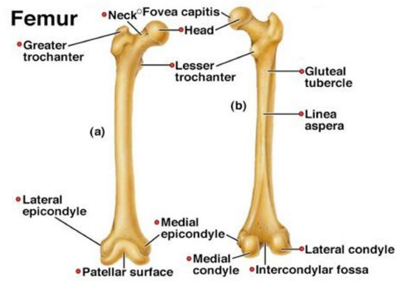 lines-aspera-of-femur-bone