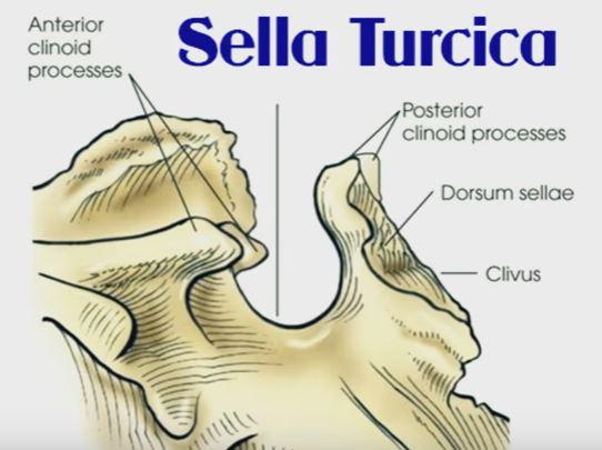 Anatomy of sella turcica