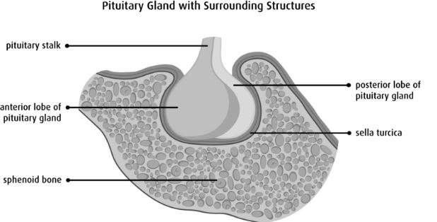 sella-turcica-with-pituatary-gland-sphenoid-bone